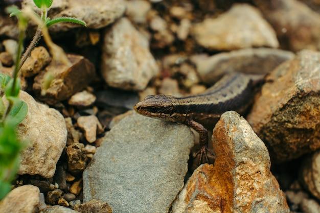 Sand lizard hiding among the rocks