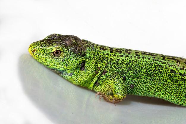 ニワカナヘビ、コモチカナヘビ。白い背景の上の緑色の繁殖のオスのトカゲ。