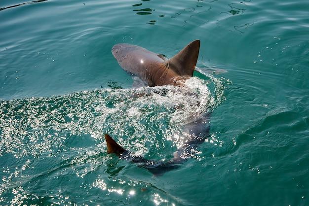 Песчаная акула плавает в тихом океане