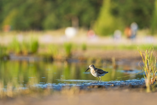 Sandpiper feeds along the shores of baltic sea before autumn migrating to southern