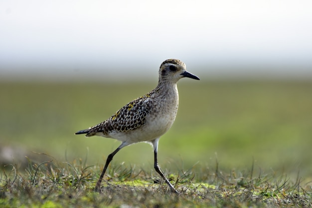Sandpipers are a large family, scolopacidae, of waders or shorebirds.