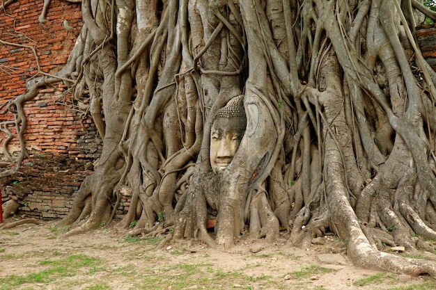 Sandstone buddha image head trapped in tree roots at wat mahathat ancient temple