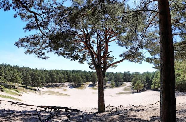소나무 숲 여름 태양의 모래 분화구