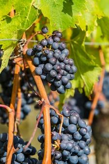 トスカーナ、イタリアのモンタルチーノ地方のサンジョヴェーゼ葡萄