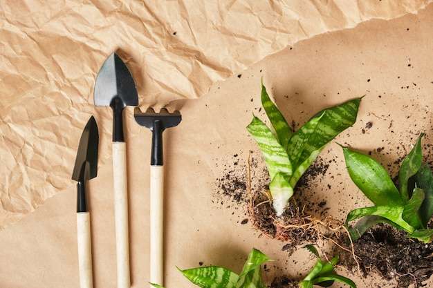 サンセベリアと植物栽培ツールは、シャベル、熊手、スクープ、クラフト紙の背景の上面図に木製のハンドルが付いた金属製のツールを廃止します