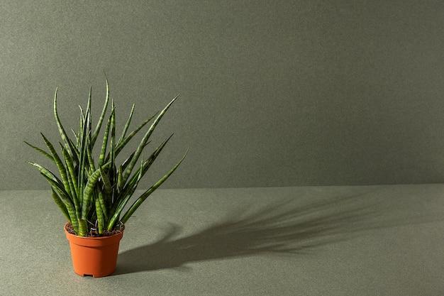 녹색에 갈색 냄비에 sansevieria cylindrica