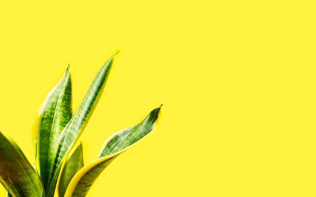 Стенд домашнего растения сансевиерия на желтом фоне. баннер с копией пространства