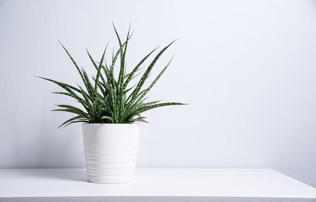 灰色の背景に白い鍋にサンセベリア植物。スカンジナビアスタイル。正面図とコピースペース