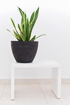 暗いセラミック鍋でサンセベリア植物は白いテーブルの上に立つ