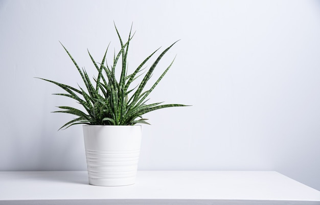 Sansevieria plant in a white pot on a gray background. scandinavian style. front view and copy space