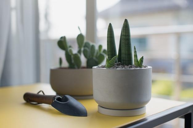 Sansevieria stuckyi in gray cement pot