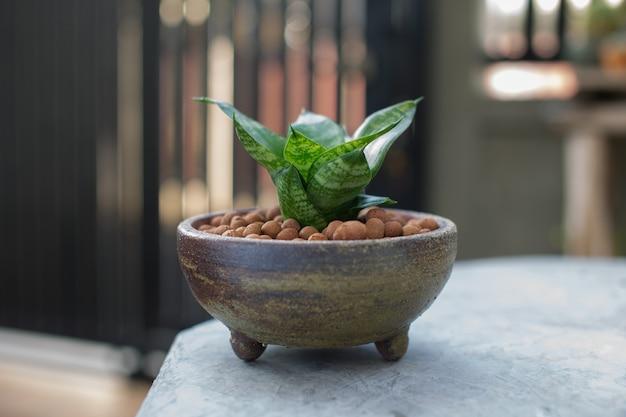 Sansevieria trifasciata или змеиное растение в керамическом горшке