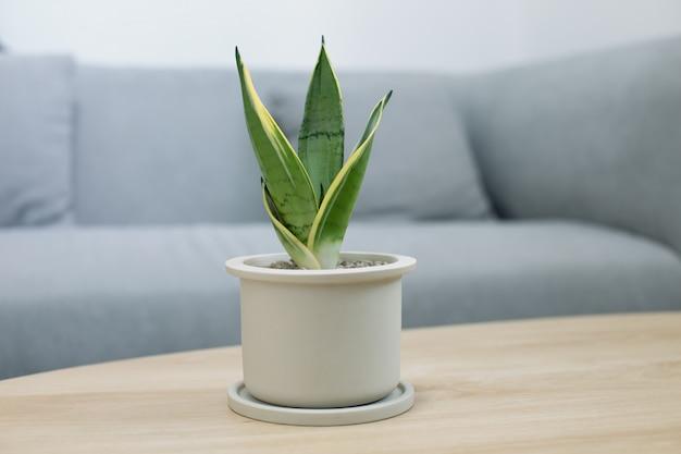 リビングルームの木製テーブルに装飾的なサンセベリア植物。灰色のセラミックポットのsansevieria trifasciata prain。