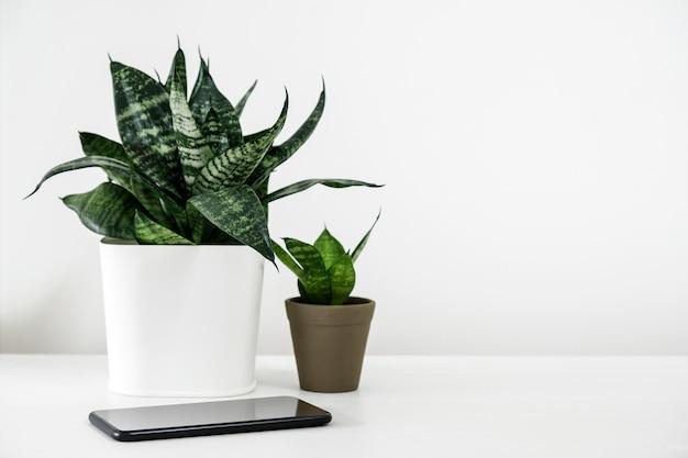 Sansevieria trifasciataまたは白い木製テーブル上のポットと携帯電話のスネークプラント