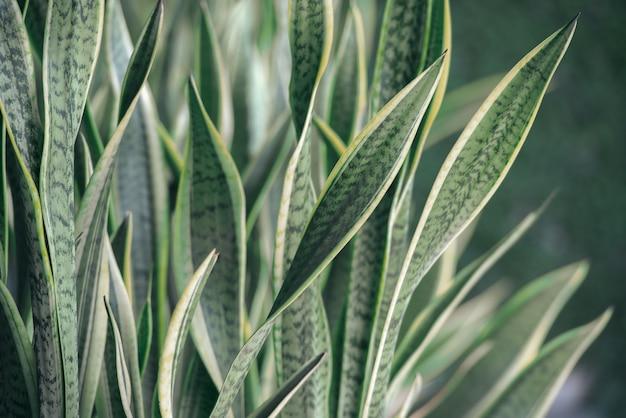 Зеленое растение sansevieria trifasciata.