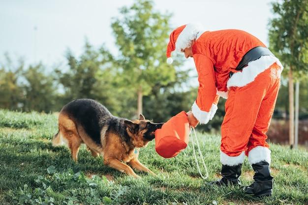 Санта-клаус без бороды играет с немецкой овчаркой, которая вытаскивает его из подарочного пакета. рождественское время