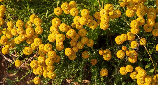 Santolina chamaecyparissus、黄色い花を持つ伝統的な野生の薬用植物