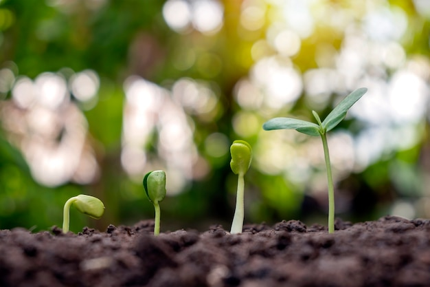 Sapling growing on soil and green nature bokeh background. plant growth progression concept. ecology and new life growth