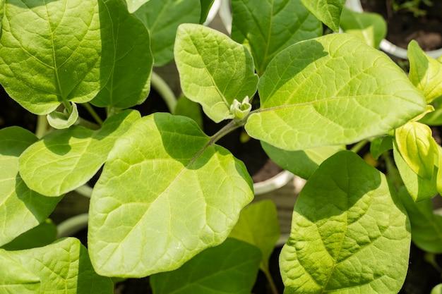 ピーマンの苗木。農業用の植物を育てる。春の植栽。窓辺の初期の苗。背景テクスチャ