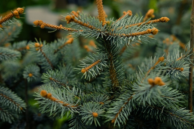 Saplings of pine, spruce, fir, sequoia and other coniferous trees in pots in plant nursery.