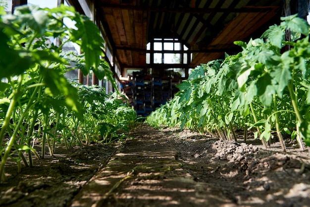 Saplings of vegetables grow in the greenhouse in sunlight.