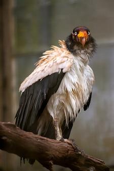 キングハゲワシ-sarcoramphus papa