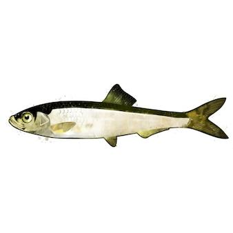 小さな魚のイワシ、水彩の隔離された図。