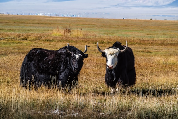 Sarlyks (domesticated yaks) on a pasture in the autumn steppe. kosh-agachsky district, altai republic, russia