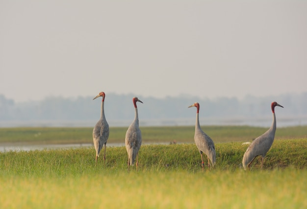 Sarus crane, beautiful bird in thailand.