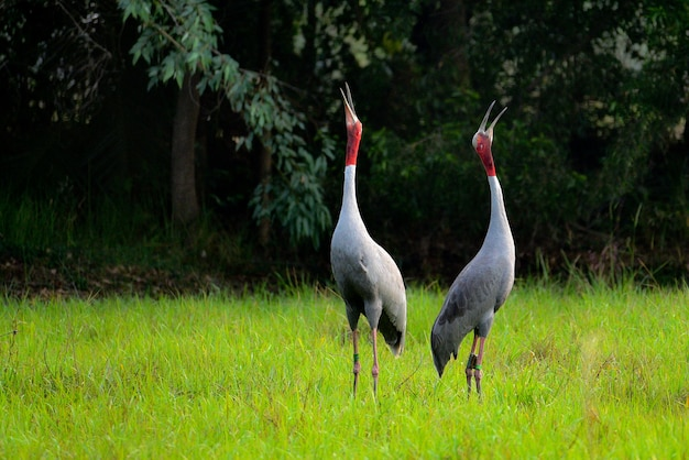 Sarus crane calling with a chick in the meadow