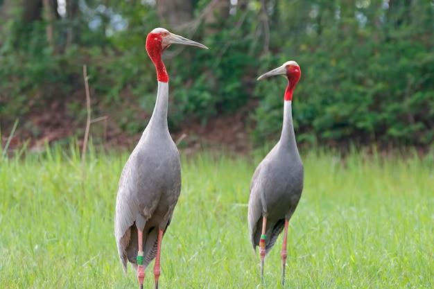 Sarus crane grus antigone beautiful birds of thailand