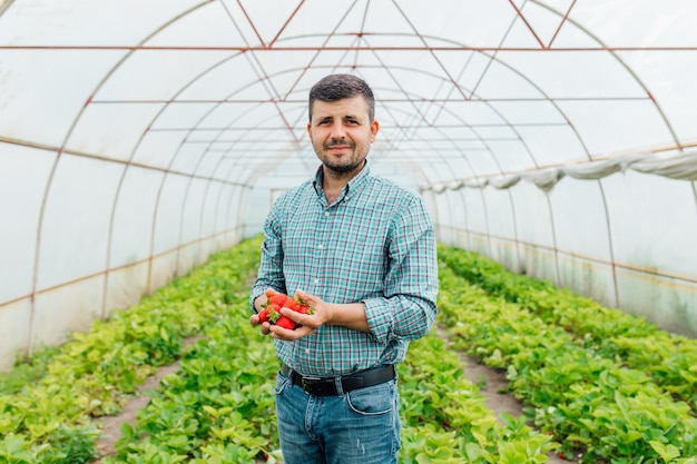 Довольный довольный взрослый фермер демонстрирует спелую клубнику и смотрит на клубнику в камеру в мужских руках, работая в теплице на ферме