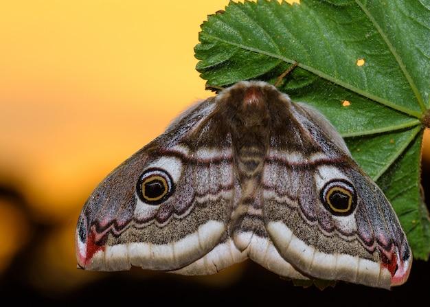 Маленький императорский мотылек (saturnia pavonia)