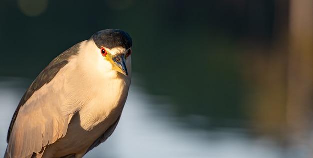 湖や川に生息するブラジルの鳥、savacuは、夜明け、自然光、選択的な焦点で撮影されました。