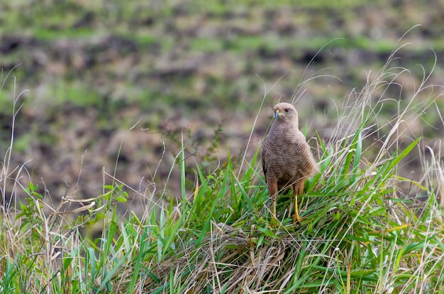 Savanna hawk in the brazilian wetland