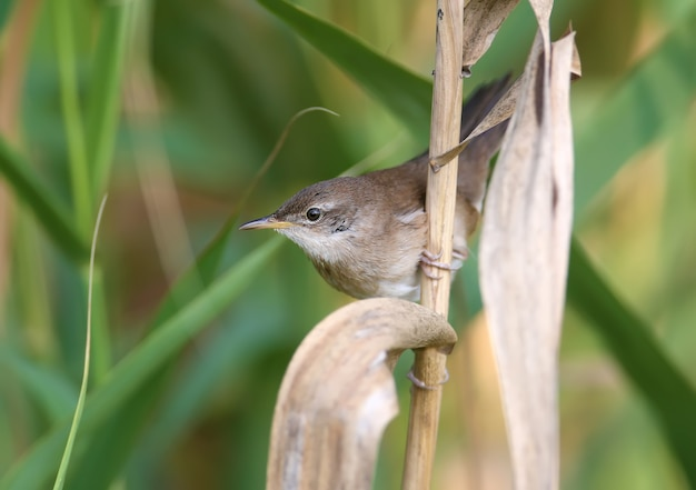 Savi's warbler (locustella luscinioides) in winter plumage is shot close-up in natural habitat in various unusual poses. identification is easy.