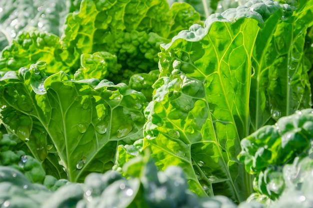 Savoy cabbage forks close-up. natural background. brassica oleracea var. sabauda