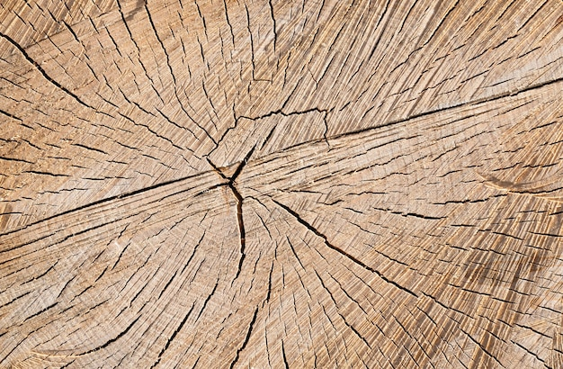 Sawed birch tree trunk with annual rings, there are cracks on the surface