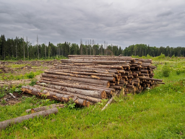 Sawed trees lie in a large pile on the background of the forest