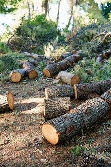 깎은 나무 줄기 회색 나무는 톱질 한 소나무에서 산림 장작의 그루터기로 절단되었습니다.