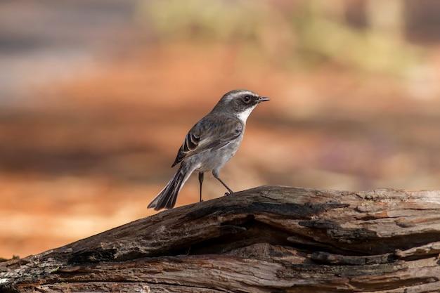 かわいい美しい鳥、灰色のブッシュチャット(saxicola ferrea)