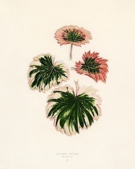 Saxifrage engraved by benjamin fawcett