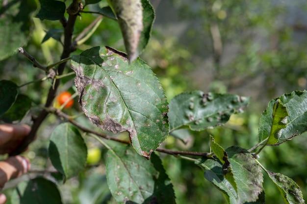 사과 나무 클로즈업의 잎에 딱지. 여름철 사과 과수원의 질병