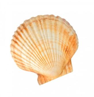 Морская раковина морского гребешка изолирована