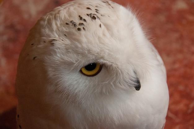 派手な白いscandiacaシベリアのフクロウ