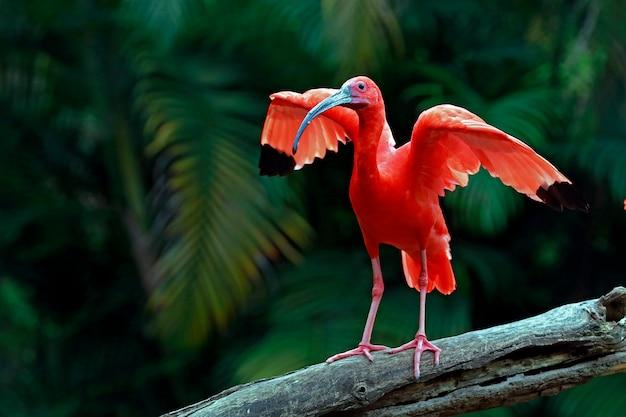 翼が大きく開いているscar色のトキのクローズアップ