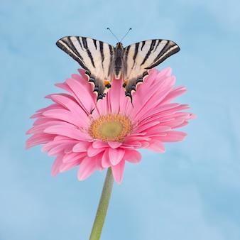 파란색 배경의 핑크 꽃에 부족한 호랑 나비과 (iphiclides podalirius)