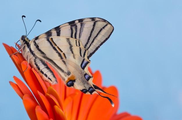 파란색 배경의 오렌지 꽃에 부족한 호랑 나비과
