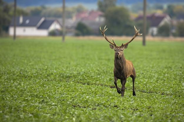 Испуганный олень убегает из деревни на зеленом поле с электрическими столбами