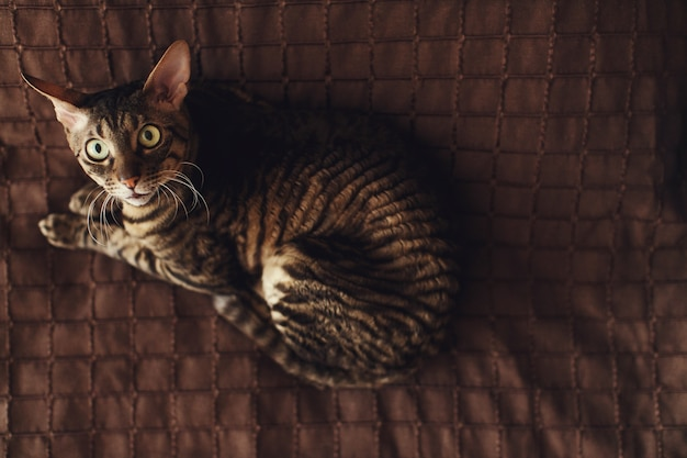 Scared stripped cat lies on a brown carpet